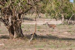 Linha central indiana da linha central dos cervos Foto de Stock