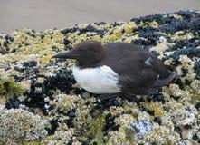 Linha costeira Murre pássaro-comum Imagens de Stock