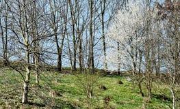 Linha de árvores de florescência da primavera Imagem de Stock