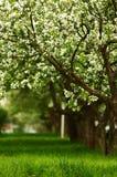 Linha de árvores de maçã de florescência Imagem de Stock Royalty Free