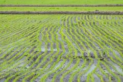 Linha de arrozes Imagem de Stock