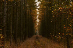 Linha de cotoes entre árvores altas na floresta Fotos de Stock Royalty Free
