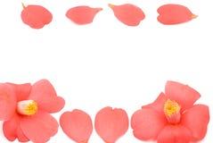 Linha de flor da camélia Fotografia de Stock