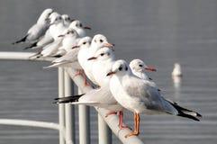Linha de gaivotas Imagem de Stock