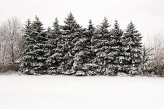 A linha de neve cobriu abetos vermelhos Fotografia de Stock