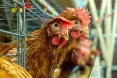Linha de produção multinível linha de produção do transporte de ovos da galinha de uma exploração avícola fotografia de stock