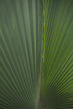 Linha de uma folha de palmeira Imagens de Stock Royalty Free