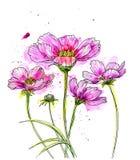 Linha desenho da tinta da flor do cosmos ilustração stock