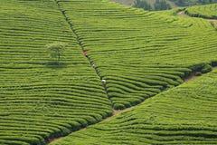 A linha do monte do chá Foto de Stock Royalty Free