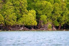 Linha litoral com arbustos dos manguezais Imagem de Stock