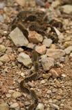 Linha processionary da lagarta do pinho no grupo Fotografia de Stock Royalty Free