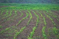 Linha Verde Fotografia de Stock Royalty Free