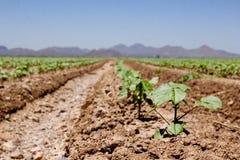 Linhas crescentes de colheitas Imagens de Stock Royalty Free