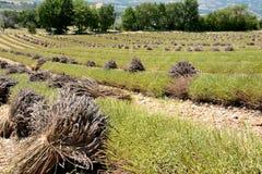 Linhas de alfazemas cortadas em campos colhidos com grupos de flores de corte Árvores e montanhas no fundo fotografia de stock royalty free