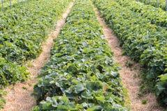 Linhas de arbustos de morango Fotografia de Stock Royalty Free