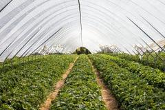 Linhas de arbustos de morango Imagem de Stock Royalty Free
