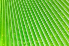 Linhas e texturas de folhas de palmeira verdes Imagens de Stock Royalty Free