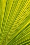 Linhas e texturas verdes das folhas de palmeira Fotos de Stock