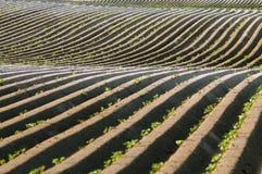 Linhas retas da batata da sujeira com ondas Fotos de Stock