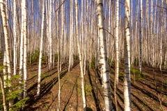 Linhas retas de árvores na floresta fotos de stock royalty free