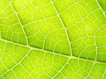 Linhas verdes do macro da folha Imagens de Stock