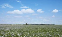 Linho azul de florescência em um campo de exploração agrícola Fotografia de Stock