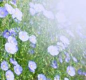 Linho de florescência Fotografia de Stock Royalty Free