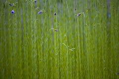 Linho de florescência flowers.JH Imagens de Stock