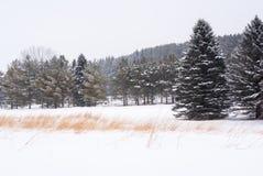 Linia śnieg zakrywać sosny z linią rdza barwiąca trawa w śniegu zakrywał przedpole zdjęcia stock