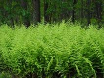 Linia Jaskrawy - zielone Bracken paprocie zdjęcia royalty free