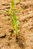 Linia kukurudzy zieleni rozsady na suchym polu z małymi kamieniami Obraz Royalty Free