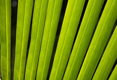 Linia na zielonym palmowym liściu przy Azja Obrazy Stock