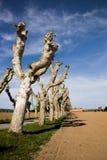 Linia ostrzyżeni platanus drzewa Zdjęcie Stock