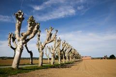 Linia ostrzyżeni platanus drzewa Fotografia Stock