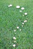 Linia pieczarki r w trawie 2 Zdjęcie Royalty Free