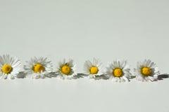 Linie des wilden Gänseblümchens Stockbild