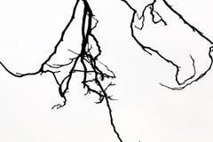 Linie Isolat des Baums morgens auf Sommer des Hintergrundes im Frühjahr Lizenzfreie Stockfotografie