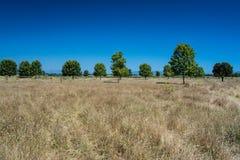 Linie sosny i obszar trawiasty Zdjęcie Royalty Free