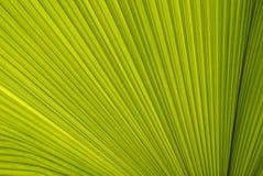 Linie und Beschaffenheit des grünen Palmblattes Stockbilder