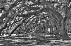 Linie von alten Bäumen lizenzfreie stockbilder