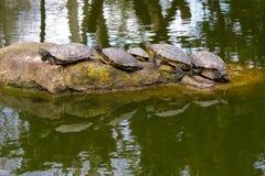 Linie von den Schildkröten, die auf Felsen sich sonnen stockfoto