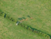 Linie von Pferden auf einem grünen Gebiet gesehen von oben stockbilder