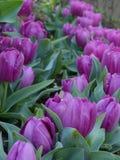 Linie von purpurroten Blumen Stockbilder