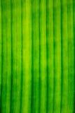 Linie, wzór, tekstura Bananowy liść Fotografia Stock