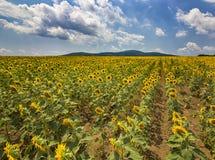 Linien der Sonnenblume Stockfotos
