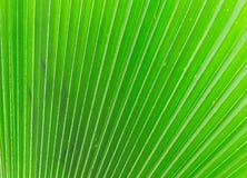Linien und Beschaffenheiten von grünen Palmblättern Lizenzfreie Stockfotos