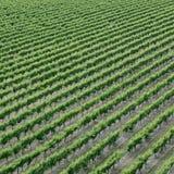 Linien von Trauben auf einem Weinberg Stockbild