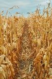 Linien von trockenen Maisanlagen mit Maiskolben Lizenzfreie Stockfotos