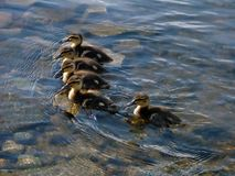 Lining up of little ducklings Stock Photos