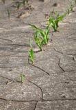 Linje av fortleva majs på ofruktbar mark Arkivfoton